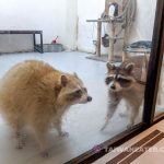 wash-coffee-raccoon-cafe-taipei-13